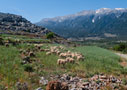 Sheep grazing above Anopolis