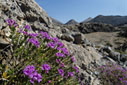 Flowering thyme in the White Mountains