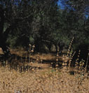 Olive grove in summer