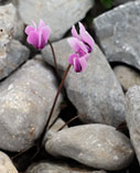 Greek cyclamen