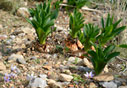Wild saffron crocus and Sea squill buds