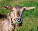 Goat chewing on a clump of grass