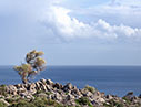 Lone olive tree by the sea