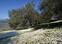 Spring flowers in an olive grove