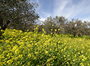 Mustard flowers in an olive grove