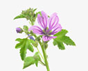 Malva sylvestris - Common mallow