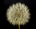 Purple Goatsbeard seed ball