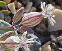Rare plants of the high desert: Silene variegata