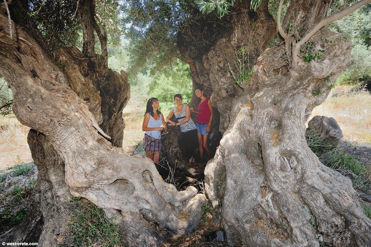 Inside A Giant Olive Tree