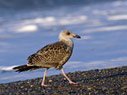 Young seagull on the beach