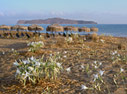 Sea daffodils on Stalos beach