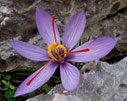 Crocus cartwrightianus on Gramvousa
