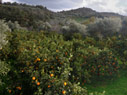 Orange and olive groves