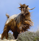 Goat portrait: the windblown look