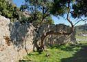 Carob tree and Roman ruin