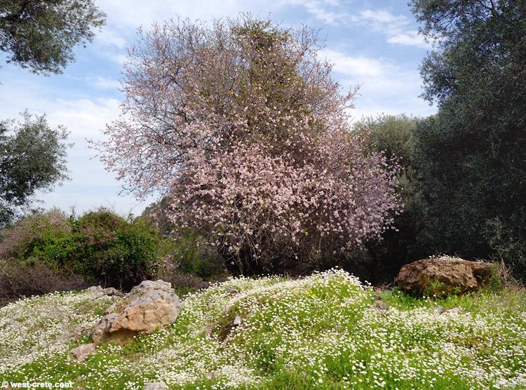 Spring in Crete: flowering almond tree
