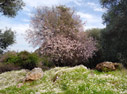 Spring in Crete: flowering almond tree