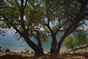 Carob tree above the sea