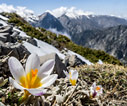 Crocuses in the mountains