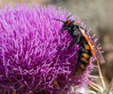 Solitary wasp on a thistle