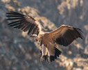 Griffon vulture getting ready to land