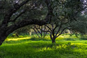 Evening sun in an olive grove