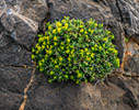 Euphorbia acanthothamnos - Greek spiny spurge