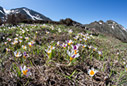 A field of crocuses in the White Mountains