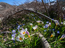 Crocus sieberi and Scilla nana in the White Mountains