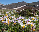 A field of Crocus sieberi in the White Mountains