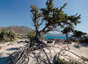 Juniper tree on Kedrodasos beach