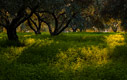 An olive grove at sunset time