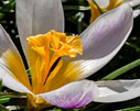 Crocus sieberi close-up