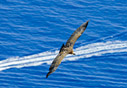 Griffon vulture above the sea