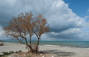 Tamarisk tree on Gerani beach