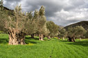 Spring in an olive grove
