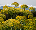 Giant fennel