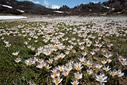 A field of Crocus sieberi at Poria