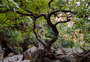 Plane tree in the Diktamos gorge