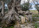 Ancient olive tree in Eleftherna
