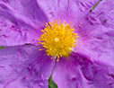 Cistus creticus close-up