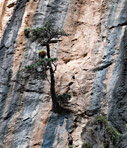 Cypress tree in a cliff