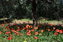 Poppies in an olive grove
