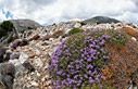 Thyme flowering in the mountains