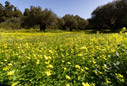 Oxalis in an olive grove