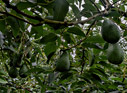 In the avocado orchard