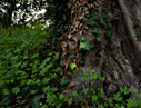 Ivy on an olive tree