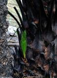 Fresh shoots in the  palm forest of Preveli - January 2011