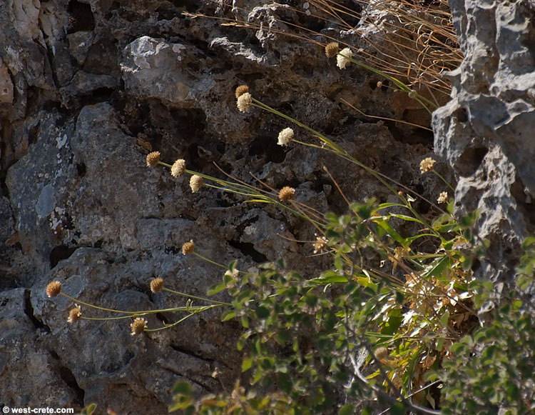 Cephalaria squamiflora - κάντε κλικ για μεγέθυνση