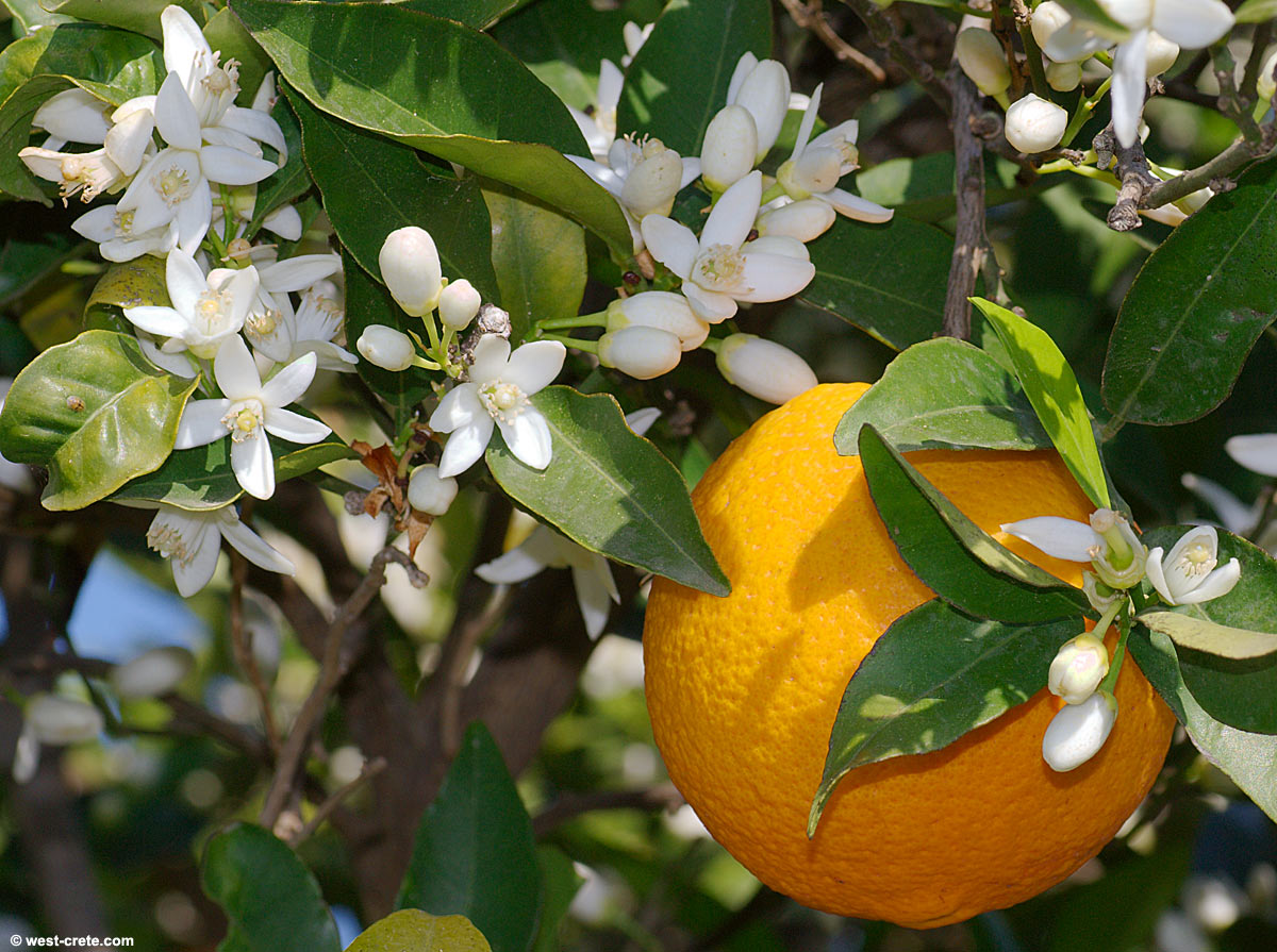 Orange blossoms - Citrus sinensisOrange Blossom Tree